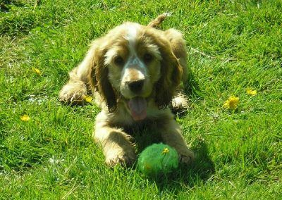 Penny plays with her ball in Renfrew