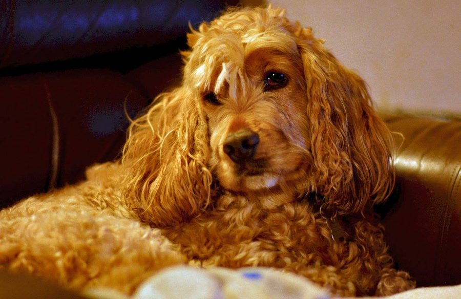 golden cocker spaniel resting