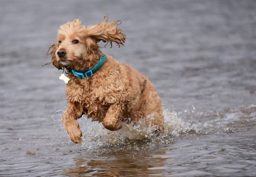 golden cocker spaniel in river