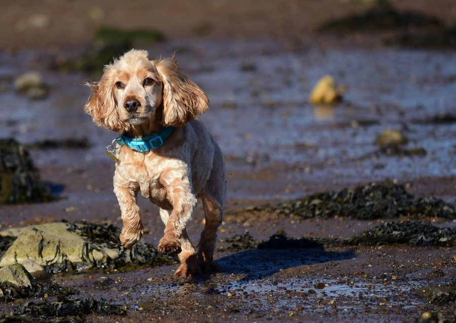 golden cocker spaniel running