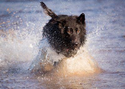 Black German Shepherd running in water