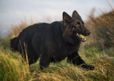 long coated black german shepherd
