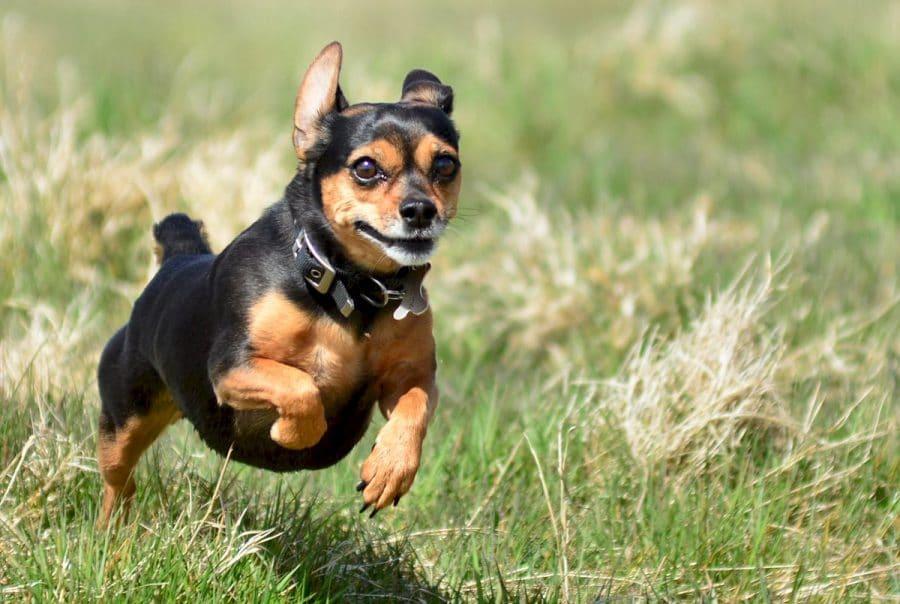 Chihuahua king charles cross