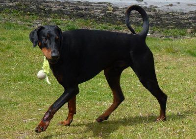 Doberman Rory with ball