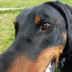 Doberman with big nose!