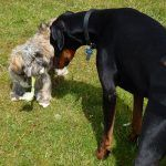 Lhasa apso Ruffles and doberman Rory