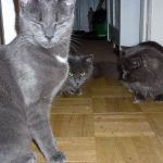 8 month old Russian blue cats