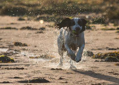 springer spaniel on beach
