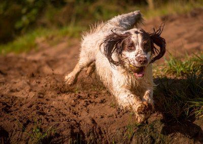 springer spaniel jumping on sand