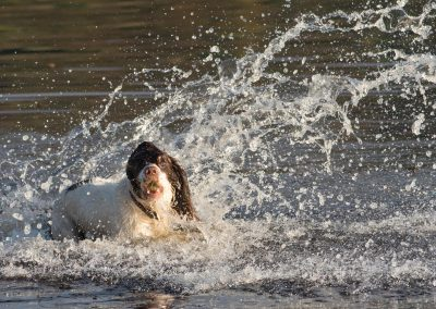 Springer spaniel splash