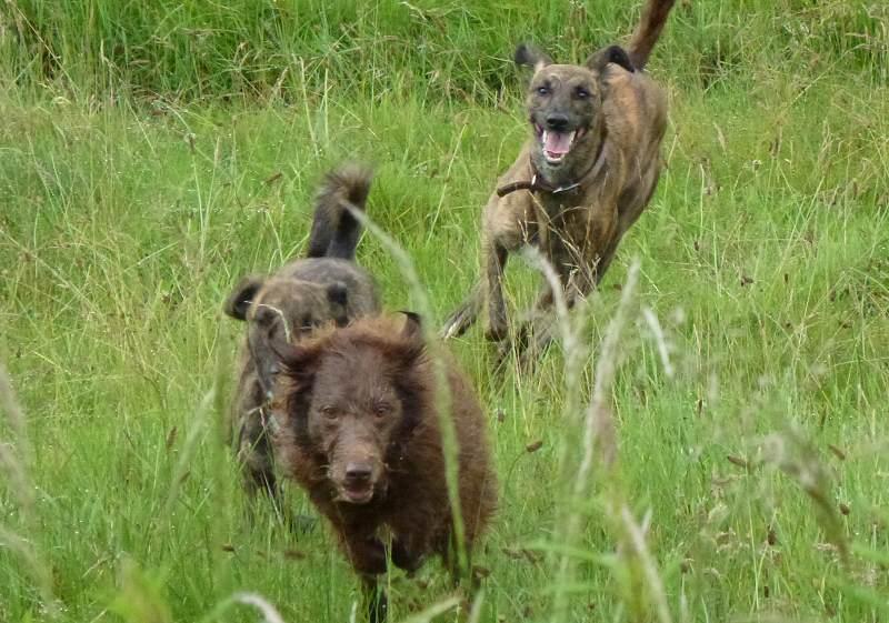 Dogs running!