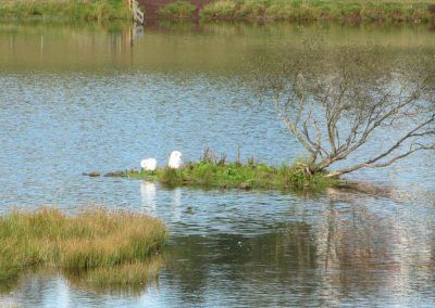 A pair of nesting swans!