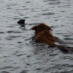 Ruby swimming in Mugdoch Loch