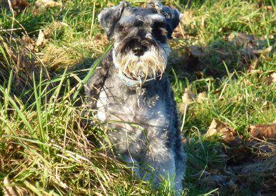 miniature schnauzer standing in grass