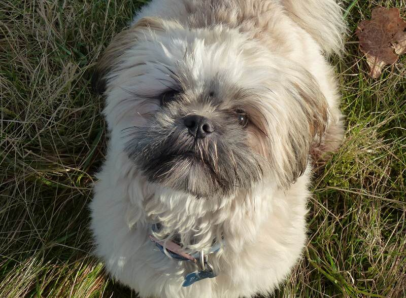 Cream Lhasa Apso Puppy From Erskine Broxi Joins Bdws