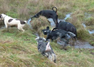 miniature schnauzer playing with dogs