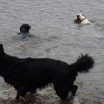 Spaniels swimming