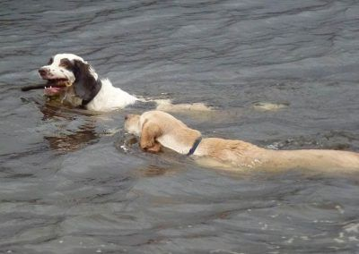 Gundogs swimming together!