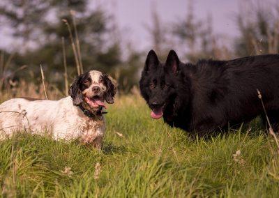springer spaniel with black german shepherd