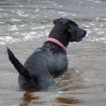 Black labrador puppy, Beau in the water!