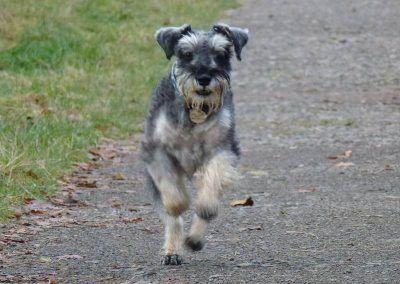 miniature schnauzer running