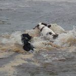 Dogs crashing into water