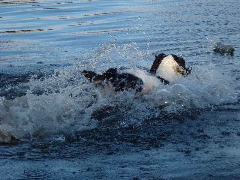 Springer spaniel running into river