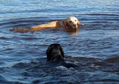 working dogs swimming