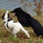 Young dogs playing