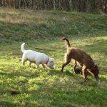 dogs walking in parklea