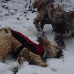 Lhasa apsos playing in snow!