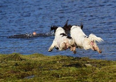springer spaniels flying