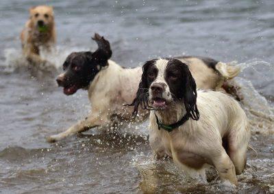 Spaniels in water