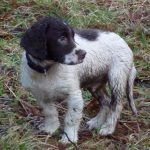 wet springer spaniel puppy