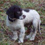 wet springer spaniel puppy