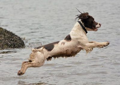 Springer spaniel diving into water