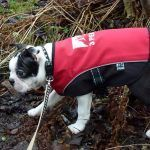 boston terrier puppy walking
