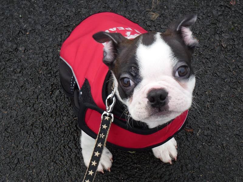 buddy the boston terrier puppy