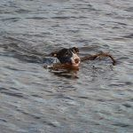 swimming bull terrier