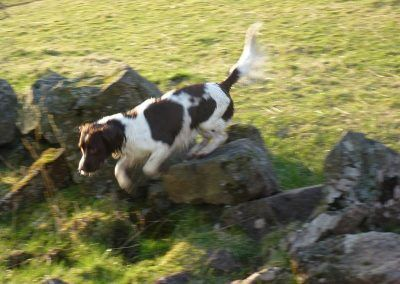 Daisy jumps over an old stone wall.