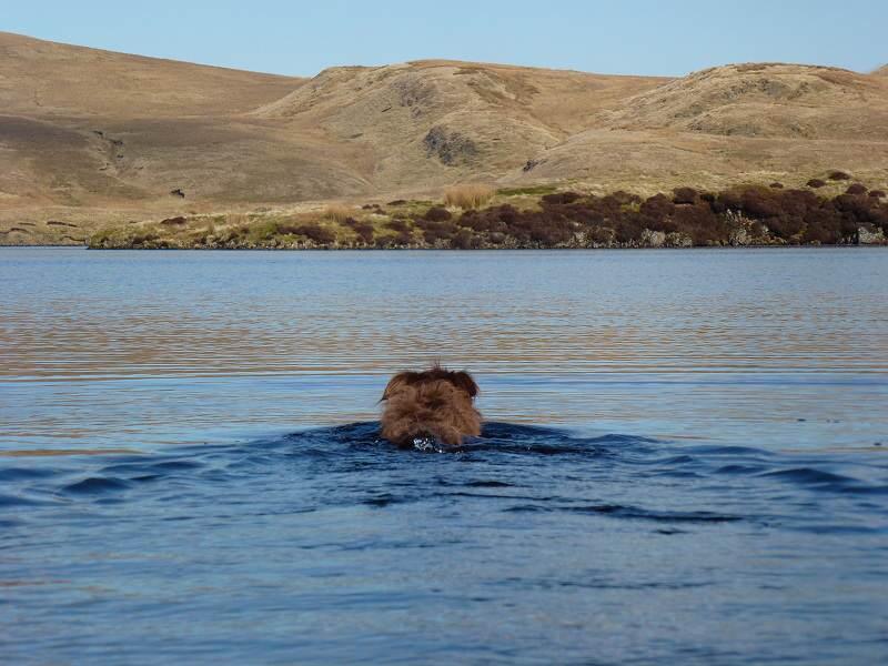 dog swimming in loch humphrey