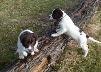 Baxter and Bruno find a log to play with!