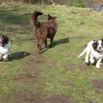 spaniel puppies running