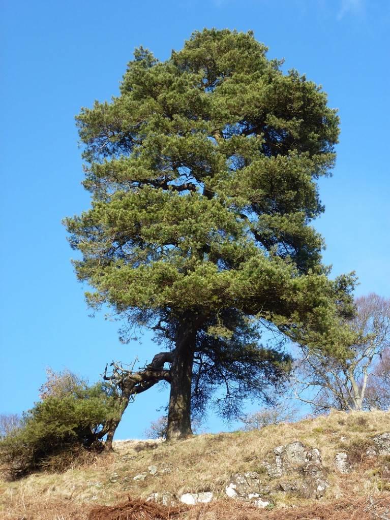 Large tree on Kilpatrick hills