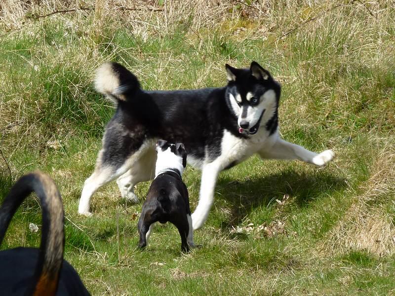 Boston terrier meets siberian husky