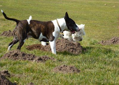 Wilfred and Mack inspect some molehills!
