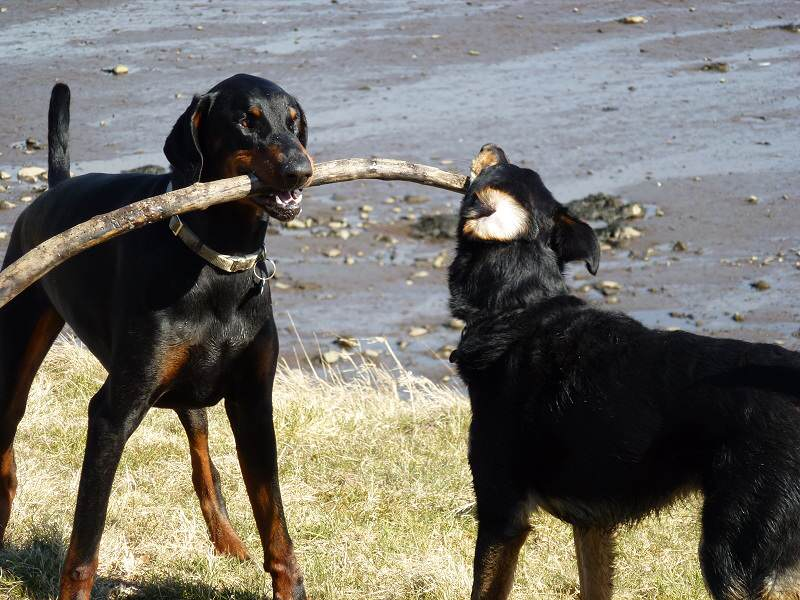 dogs tugging stick