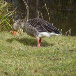 goose in finlaystone