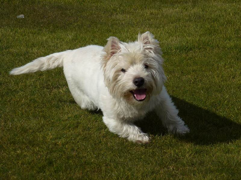 happy west highland terrier