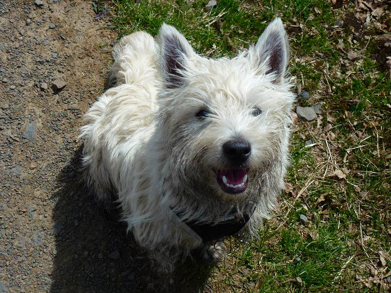 jack the west highland terrier